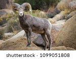 Watchful Male  Ram  Big Horn...