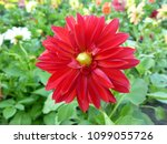 beautiful red flower in nature | Shutterstock . vector #1099055726