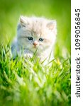 Stock photo cute britain kitten on the green grass 1099056845
