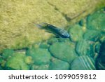 fish swimming in pond | Shutterstock . vector #1099059812