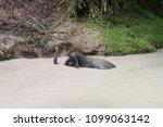 asian elephant swimming | Shutterstock . vector #1099063142