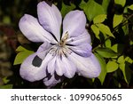 close up of of lilac clematis... | Shutterstock . vector #1099065065