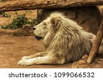 the lion is resting in a... | Shutterstock . vector #1099066532