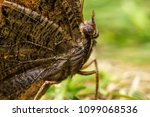 brown forest butterfly pararge... | Shutterstock . vector #1099068536