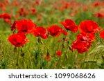 summer sunset at red field of... | Shutterstock . vector #1099068626