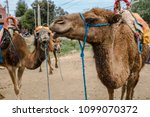 camels in they natural... | Shutterstock . vector #1099070372