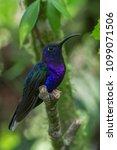 violet sabrewing hummingbird... | Shutterstock . vector #1099071506