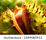 Chestnut Tree With Young...