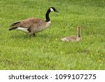 Canada Goose And Gosling On...