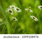 daisy flower  bellis perennis ... | Shutterstock . vector #1099108976