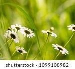 daisy flower  bellis perennis ... | Shutterstock . vector #1099108982