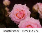there is simply the rose | Shutterstock . vector #1099115972