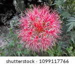 powder puff lily is a name of... | Shutterstock . vector #1099117766