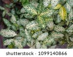 beautiful aglaonema  in the...   Shutterstock . vector #1099140866