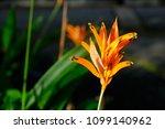 orange flower in direct sunlight   Shutterstock . vector #1099140962