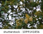 beautiful tembusu plant  kan...   Shutterstock . vector #1099141856