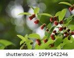 cochinchinense flowers or...   Shutterstock . vector #1099142246