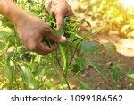 Green Chilli Pepper Farmer Han...