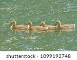 Canadian Geese Goslings   Four...