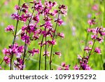 close up of a little violet... | Shutterstock . vector #1099195292