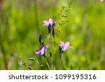 close up of a little blue flower   Shutterstock . vector #1099195316
