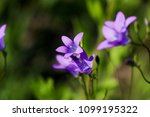 close up of a little blue flower   Shutterstock . vector #1099195322