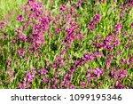 close up of a little violet...   Shutterstock . vector #1099195346