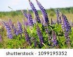 lupinus  lupin  lupine field...   Shutterstock . vector #1099195352