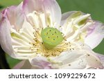 lotus is a symbol of buddhism. | Shutterstock . vector #1099229672