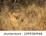 lion in the kruger national park | Shutterstock . vector #1099284968