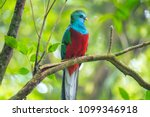 male of resplendent quetzal ... | Shutterstock . vector #1099346918
