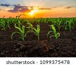 green corn maize plants on a... | Shutterstock . vector #1099375478