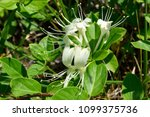 Wild Honeysuckle Closeup