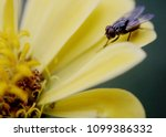 close up of a fly  insect on a... | Shutterstock . vector #1099386332