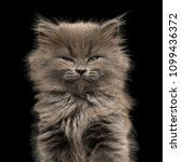 Portrait Of Gray Kitten  With...