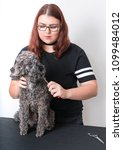 grooming a little poodle in a... | Shutterstock . vector #1099484012