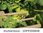 Wild Green Wine Growing In...