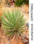 narrowleaf yucca plants along... | Shutterstock . vector #1099570862