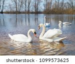 white swans on the river.a... | Shutterstock . vector #1099573625