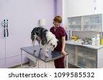 veterinarian examining a dog... | Shutterstock . vector #1099585532