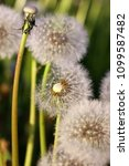 Small photo of Deflowered dandelions on a meadow in beams of the sunset sun a close up. Macro. Flower vegetable background vertically. Taraxacum. Asteraceae Family.