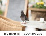 happy pigeon eating a few... | Shutterstock . vector #1099593278