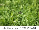 dragonfly sitting on the grass... | Shutterstock . vector #1099595648
