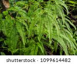 Ferns In Tropical Forest .