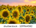 Field Of Sunflowers Against...