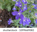 Small photo of detail Boraginaceae in the garden