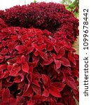 Small photo of Red Coleus plants island in the garden.