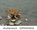 tigress parwali and her cub at... | Shutterstock . vector #1099696826