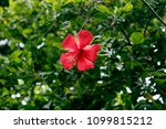 hibiscus is a genus of...
