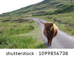 highland cattles at the isle of ... | Shutterstock . vector #1099856738